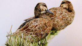 Image: Donna MITCHELL, Pacific black duck (2019), watercolour on paper, 21 x 42cm, image courtesy of the artist.