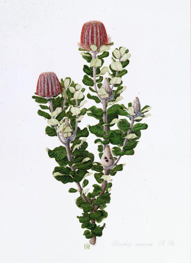 GIPPSLAND Celia Rosser_Banksia coccinea (Scarlet Banksia) 1974
