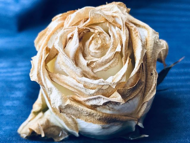 Rose by Patrick Rose