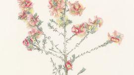 EXHIBITION Ballarat, Beckler Botanical Bounty, mali-moir-maireana-turbinata-banner-1024x410