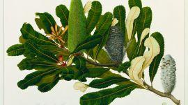 Celia Rosser Banksia robur (Swamp Banksia) 1973  watercolour and pencil on Aquarelle Arches 640 gsm paper 55.8 x 76.2 cm  Monash University Collection Donated by the Botany Department, Monash University 1989 1989.36