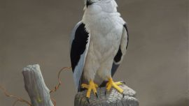 Peter SLATER Black Shouldered Kite, 1991 Acrylic on board 59 x 44cm Collection Gippsland Art Gallery. Purchased, 1991