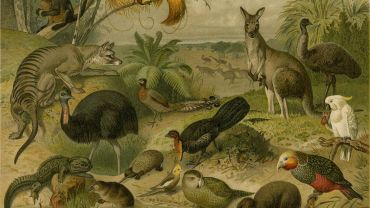 Unknown artist (Leipzig, Germany) after Gustave MUTZEL (b. 1839, d. 1893) Australische fauna, 1894, chromolithograph on paper, Art Gallery of Ballarat, gift of Ted and Gina Gregg, 2013